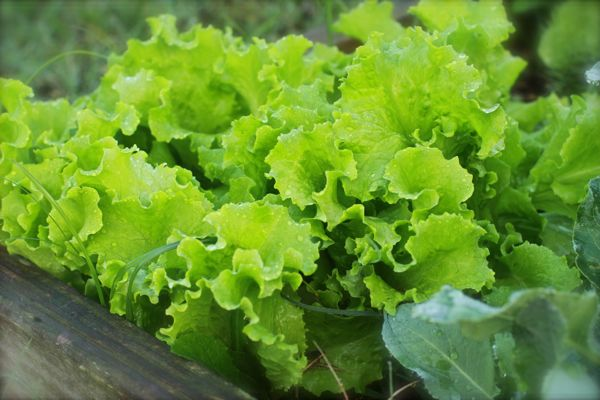 Black Seeded Simpson Lettuce Plants to grow