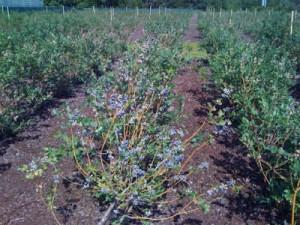 u pick blueberry farms