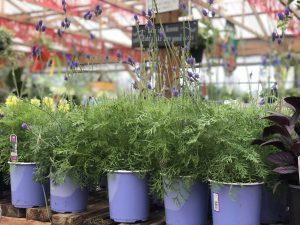 Lavender Lavandula plant