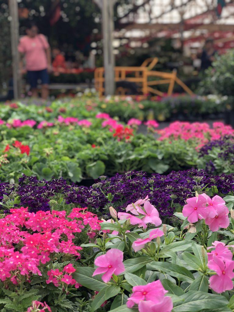 Pink Vinca for your flower garden.