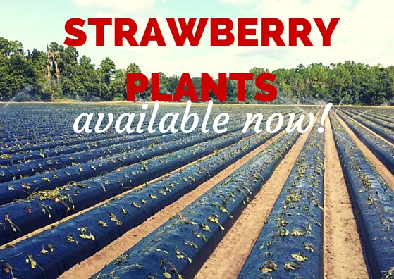 bare root strawberry plants
