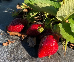 Bare root strawberry plants available