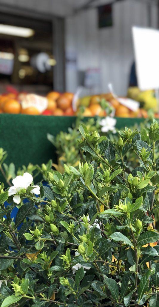 Gardenia bush and oranges at a market.